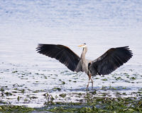 Great Blue Heron Wings Royalty Free Stock Photography