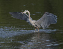Great Blue Heron with wings stretched Stock Photo