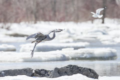 Great Blue Heron In Winter Stock Photography