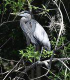 A Great Blue Heron. This is a Winter picture of a Great Blue Heron perched on a tree in the Everglades located in Big Cypress National Preserve in Ochopee stock photos