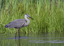 Great Blue Heron With A Fish Stock Photography