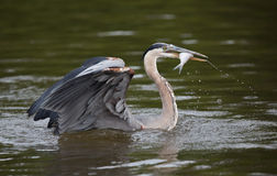 Great Blue Heron With A Fish Stock Image