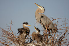 Great Blue Heron With Babies Royalty Free Stock Image