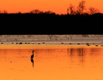 Free Great Blue Heron With Ducks In The Background Standing In Flooded Rice Field Used As Hunting Ground During Duck Season At The Bald Stock Photography - 95217722