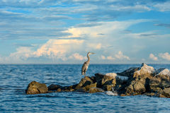 Great Blue Heron World Stock Photography