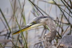 Great Blue Heron (Ardea herodias) Stock Photo