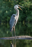 Great Blue Heron yawning - Ontario, Canada Stock Photography