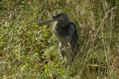 Great Blue Heron 1 Stock Images