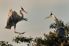 Great Blue Herons royalty free stock photo