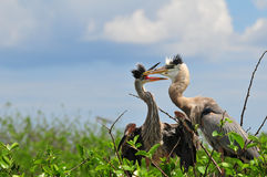 Great Blue Herons Stock Photo