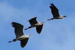 Great Blue Herons Royalty Free Stock Photography