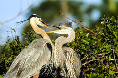 Great Blue Herons Adult and Offspring Stock Images