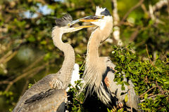 Great Blue Herons Adult and Offspring Stock Photos