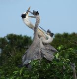 Great Blue Herons in nest Stock Images