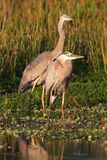 Great Blue Herons (Ardea Herodias) Stock Photography
