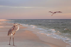 Great Blue Herons on the Beach at Sunrise Stock Photo