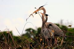 Great Blue Herons Building a Nest Stock Photos