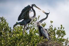 Great Blue Herons Building a Nest Stock Photo