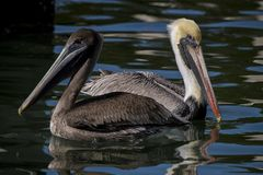 Great Blue Herons Building a Nest royalty free stock photo
