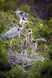 Great Blue Herons with chicks Royalty Free Stock Image