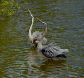 Great Blue Herons cooling off Royalty Free Stock Photography