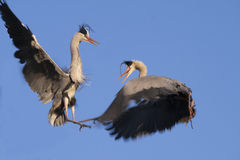 Great Blue Herons Courtship Royalty Free Stock Image
