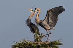 Great Blue Herons Displaying Courtship Behaviour at Their Nest Royalty Free Stock Photos