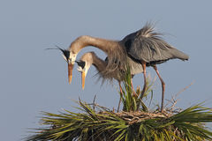 Great Blue Herons Displaying Courtship Behaviour at Their Nest Stock Photography