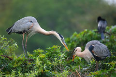 Great Blue Herons exchanging nesting material. It is the largest Stock Photography