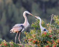 Great Blue Herons exchanging twig