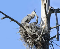 Great Blue Herons Stock Photos