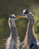 Great Blue Herons Interlocking Beaks. A pair of Great Blue Herons seem to be communicating on some level as they interlock their beaks at the Wakodahatchee Stock Images