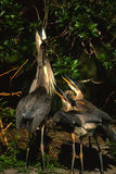 Great Blue Herons on Nest Stock Image