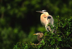 Great Blue Herons on Nest Stock Images