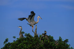 Great Blue Herons at Nest. Great Blue Herons at a nest in tree Royalty Free Stock Photo