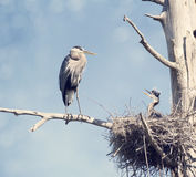 Great Blue Herons in the Nest Stock Images