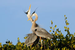 Great blue herons in the nest Royalty Free Stock Photography