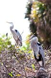 Great Blue Herons in nest, Stock Image