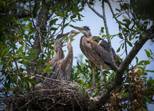 Great Blue Herons in a Nest Stock Images