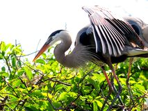 Great Blue Herons in nest in South Florida Royalty Free Stock Images