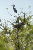 Great blue herons at nest in a tree, Apopka, Florida. Royalty Free Stock Photography