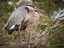 Great Blue Herons Nesting Royalty Free Stock Photos