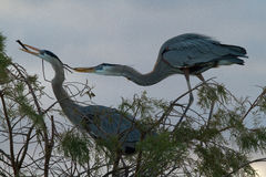Free Great Blue Herons Nesting Stock Photo - 75110020