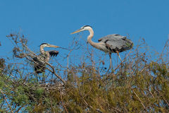 Great Blue Herons Royalty Free Stock Image