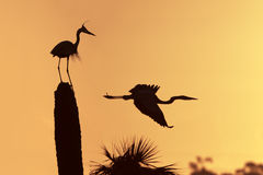 Great Blue Herons Silhouetted at Sunrise - Florida Stock Images