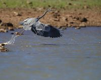 Great Blue Heron taking off from the water. Great Blue Herons spend their time wading and flying, always looking for fish or crustaceans in the shallow water stock photos