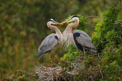 Great Blue Herons standing in the nest. Royalty Free Stock Photo