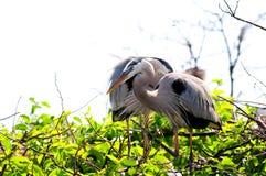 Great Blue Herons in tree, Florida Stock Image