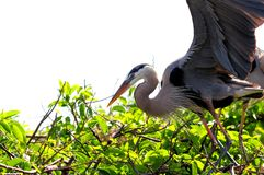 Great Blue Herons on tree top in Florida Stock Photography
