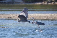 Great blue herons Stock Photography